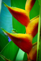 Geco in a Heliconia